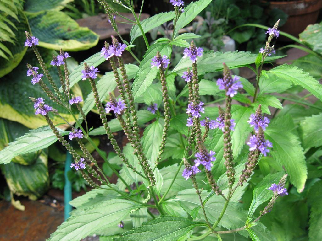 Vervain-Plant